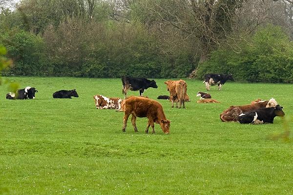 Pășunatul vitelor în păduri este permis începând cu 1 mai