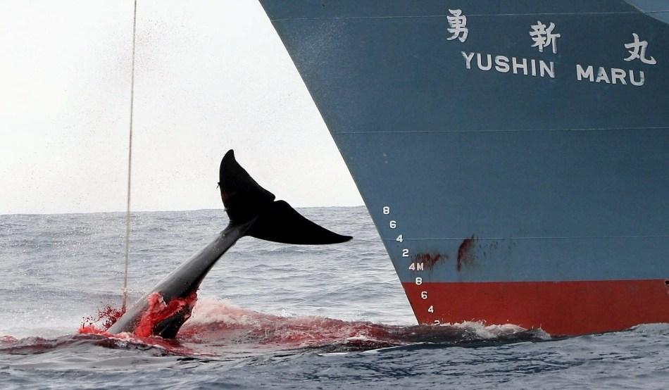 Japonia devine ținta criticilor, după ce s-a retras din Comisia privind vânătoarea de balene