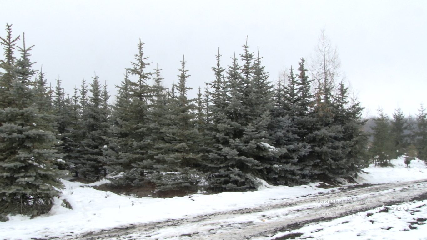 Ocolul Silvic Glodeni va scoate la vânzare 1700 de brazi pentru Sărbătorile de Iarnă