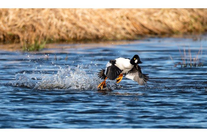 În R. Moldova au fost înregistrate 78 de specii de păsări de apă