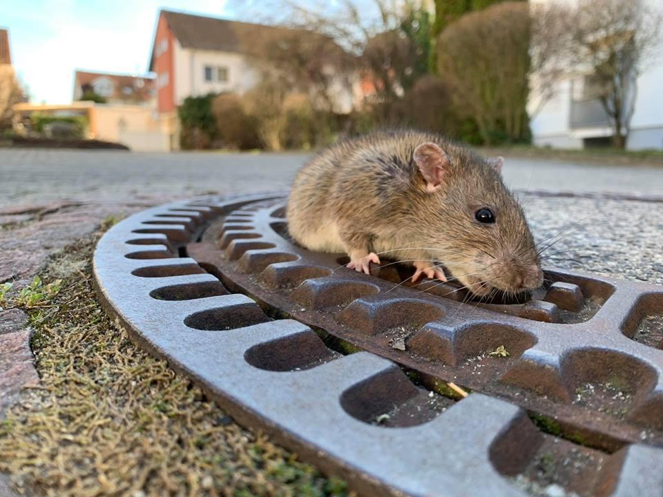 FOTO/ VIDEO | Zece pompieri din Germania au salvat un şobolan, rămas blocat în capacul de canalizare