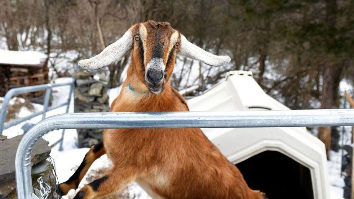 O capră a fost aleasă primar într-un oraș din SUA