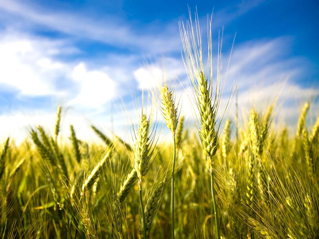 Mai multe pajiști și mai puține culturi intensive pentru a hrăni Europa în mod durabil în 2050 (studiu)