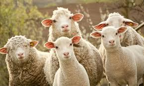 """În Franța au fost """"înscrise"""" la școală 15 oi pentru evitarea închiderii unei clase"""