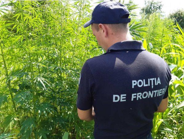 FOTO | Peste 1000 de fire de plante de cânepă smulse în apropierea zonei de frontieră de la Soroca