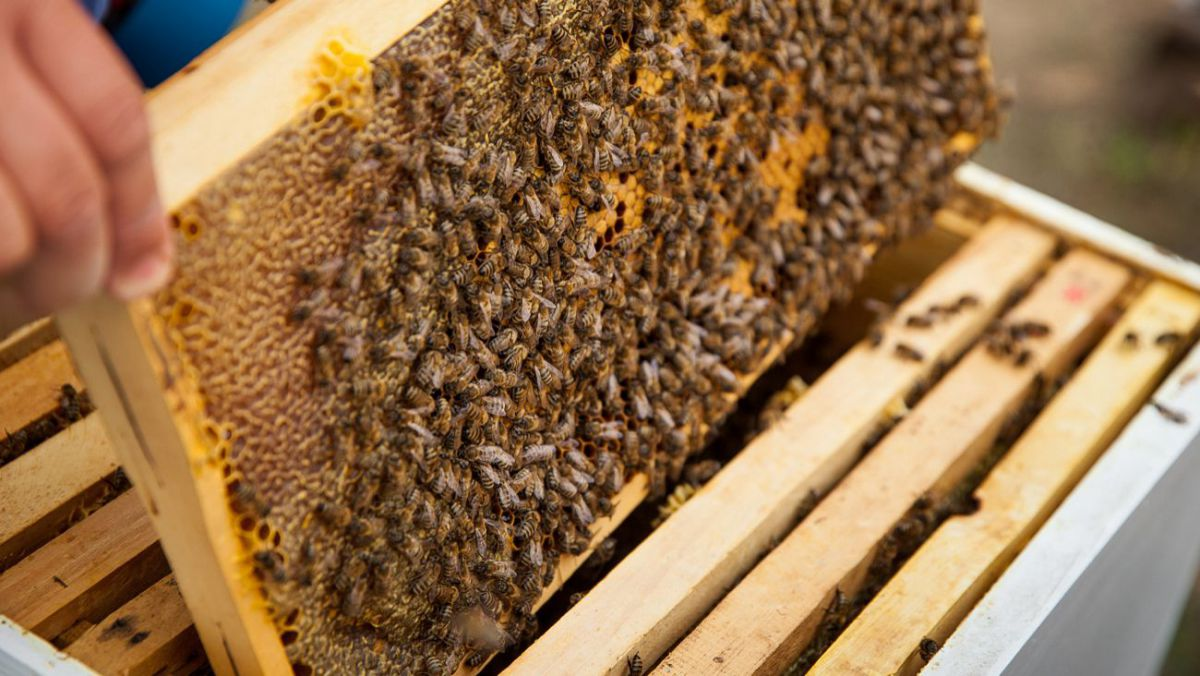 Se va scumpi sau nu mierea de albine?