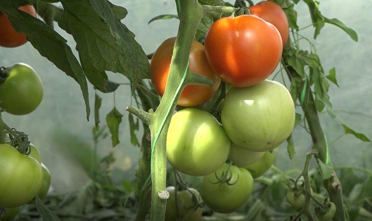 VIDEO | O familie de fermieri din Drochia crește legume ecologice