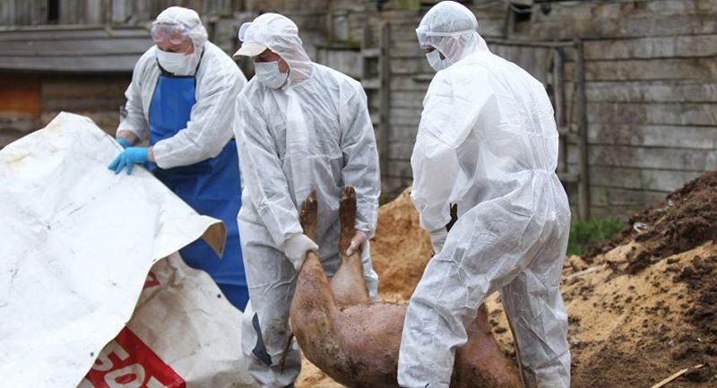 Un nou caz de pestă porcină a fost înregistrat la Lipcani