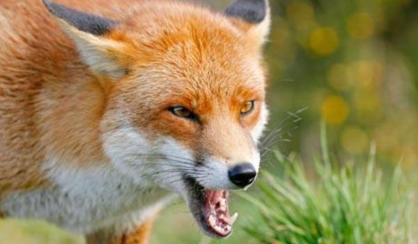 Caz confirmat de rabie  la o vulpe din nordul țării