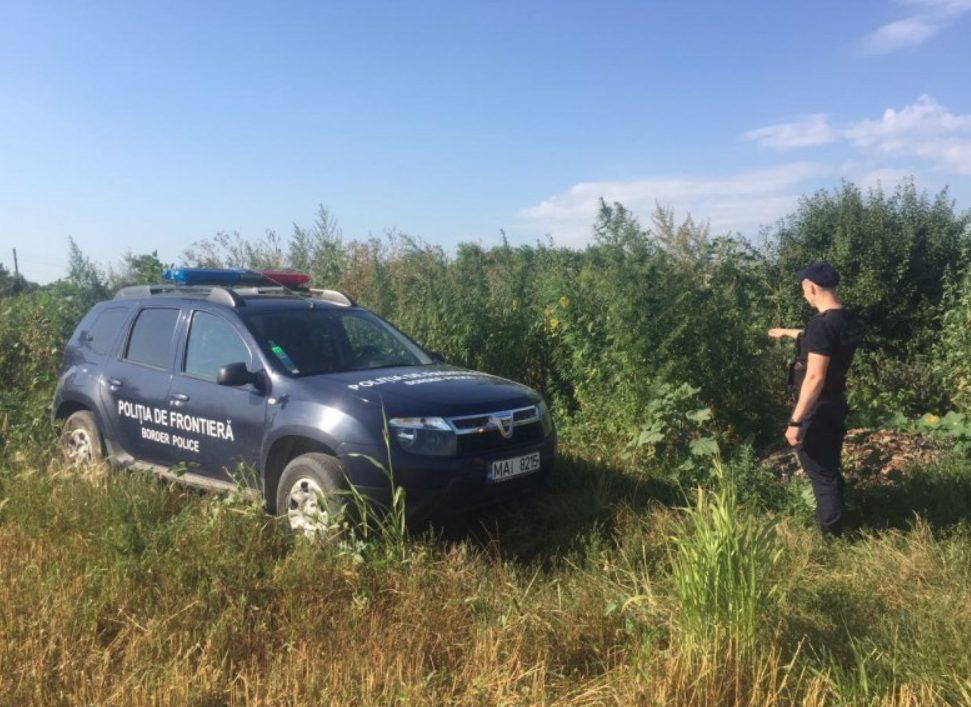 Polițiștii de frontieră au depistat plante de cânepă în grădina unei femei din Briceni