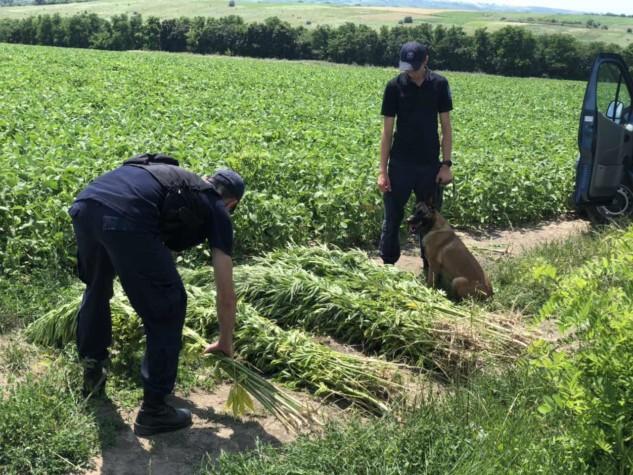 Poliția de Frontieră a descoperit în satul Balatina, Glodeni un lan de cânepă