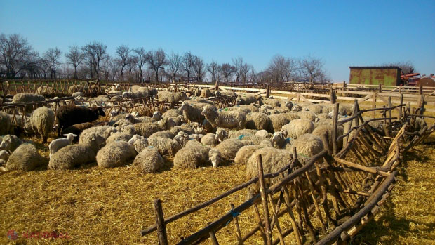 VIDEO | Lâna oilor noastre nu mai trebuiește nimănui