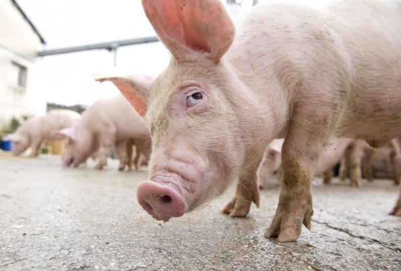 Pe un bărbat din Drochia l-a ajuns blestemul porcului