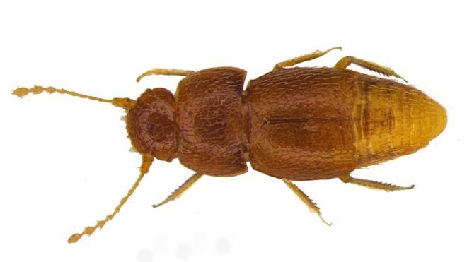В честь экоактивистки Греты Тунберг назвали жука