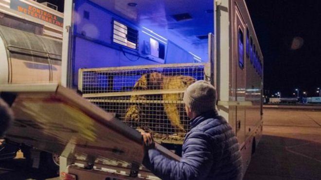 Ехавших в Россию тигров не пропустила таможня в Беларуси: одно животное умерло, остальных спасают в Польше