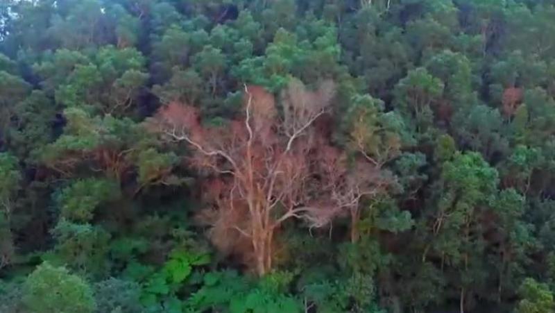 Insulele Hawaii, distruse de o ciupercă misterioasă şi fără leac