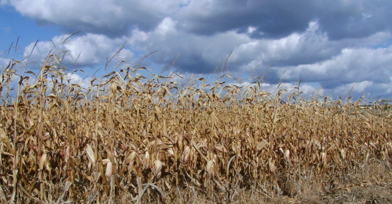 VIDEO   Peste 100 de hade porumb și soia nu pot fi recoltate la Drepcăuți. Oamenii riscă să rămână fără roadă