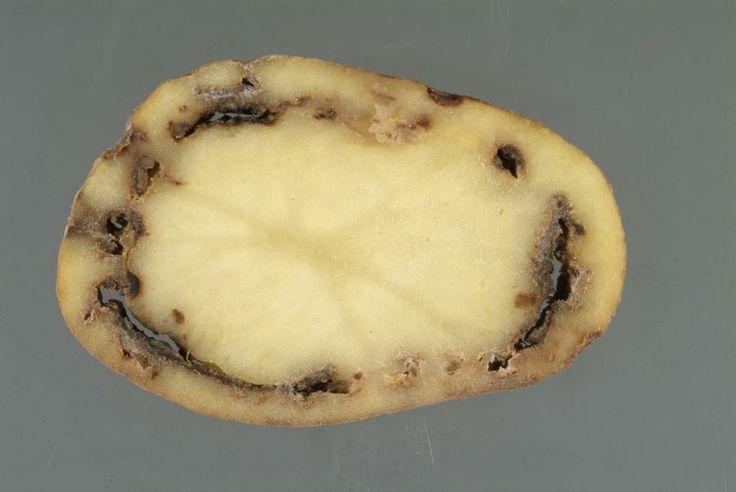 Aproape 90% din loturile de cartofi importate sunt contaminate cu boli