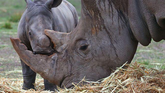 Ученые научились подделывать рог носорога, чтобы спасти их от браконьеров