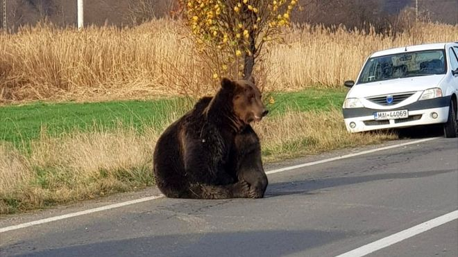 В Румынии участились случаи нападения бурых медведей на людей