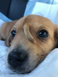 В США родился щенок с хвостом на лбу