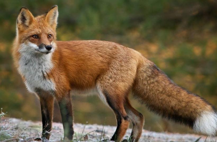В окрестностях Бельц будут отстреливать лис