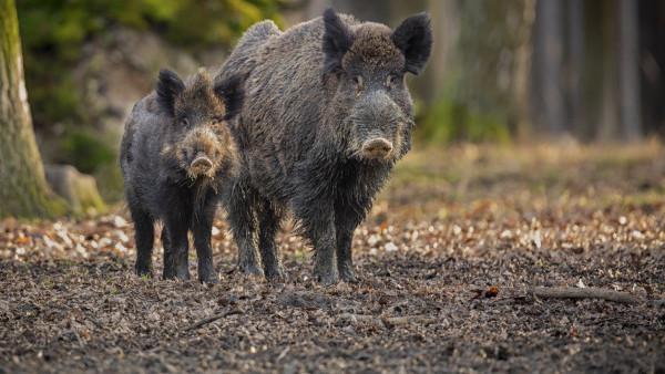 Caz de pestă porcină africană în nordul țării. Opt cadavre de mistreți, depistați în a raionul Fălești