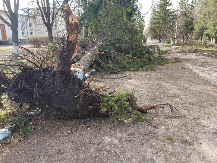 VIDEO   Furtuna a scos din rădăcini mai mulți brazi la Drochia. Aproape 100 de localități au rămas fără curent