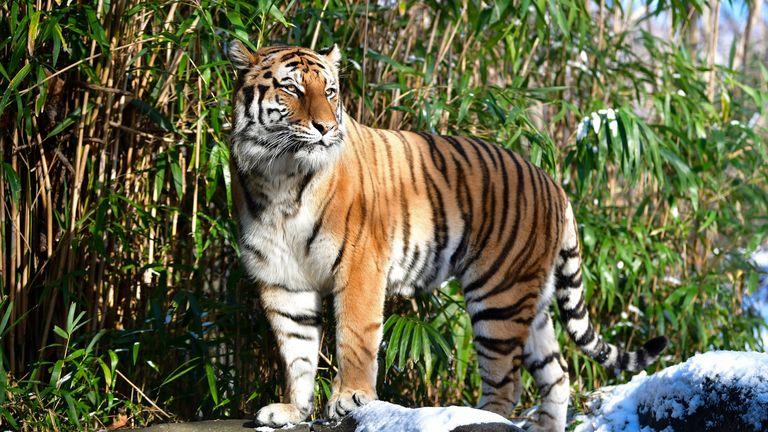 Primul caz de infecatre a felinelor. Un tigru de la o grădină zoologică din New York a fost testat pozitiv cu COVID-19