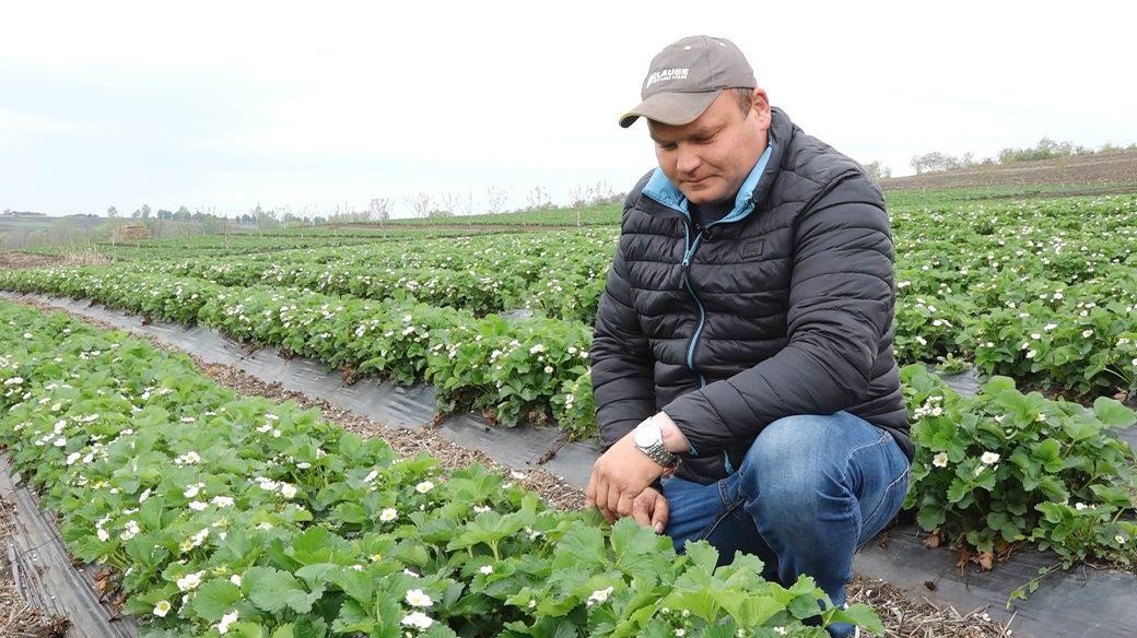 Coronavirusul le dă mari bătăi de cap producătorilor de căpșuni din Florești
