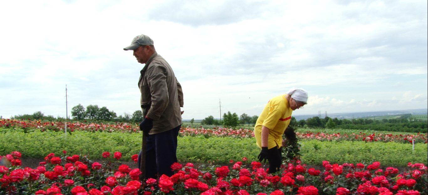 ВИДЕО   «Маленькая Голандия» на севере Молдовы. Как небольшое село Добруджа,  в год производит до 10 миллионов кустов роз