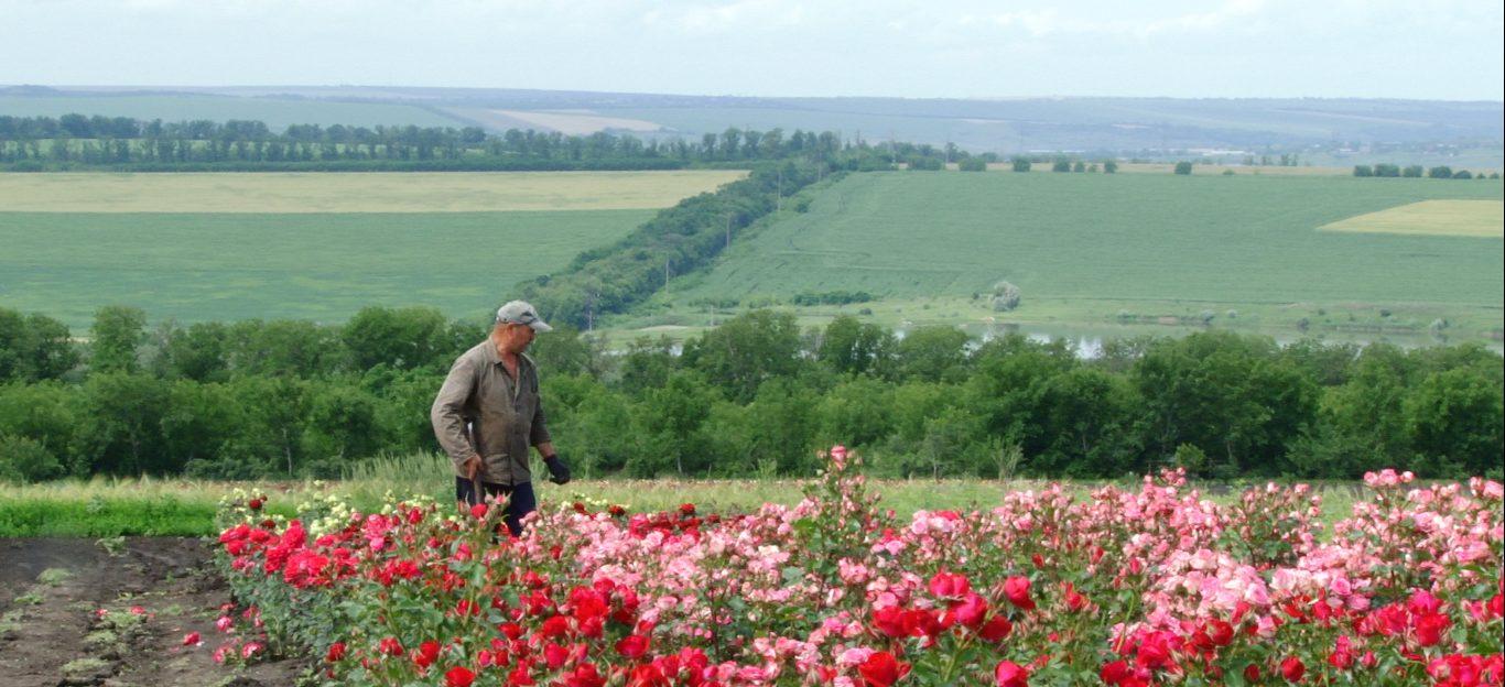 VIDEO   Pierderi de milioane de lei pentru florarii din nordul R. Moldova. Trandafirii putrezesc în câmp