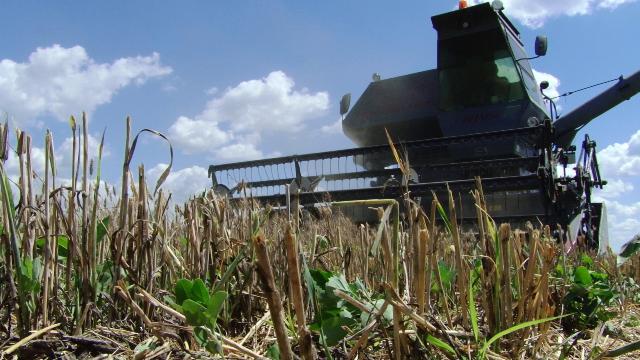Ущерб, нанесенный посевам пшеницы засухой, превышает 700 млн. леев